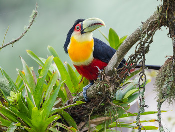 GREEN-BILLED TOUCAN - Itatiaia NP,Brazil